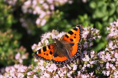 Butterfly Smal Tortoiseshell on oregano Royalty Free Stock Image