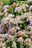 Butterfly Smal Tortoiseshell on oregano Stock Photos