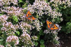 Butterfly Smal Tortoiseshell on oregano Stock Images