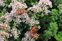 Butterfly Smal Tortoiseshell on oregano Stock Photo