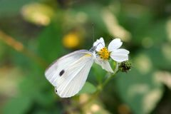 Butterfly (small cabbage white) Stock Photo