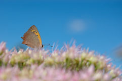 Butterfly. Small butterfly feeding on a wild flower Stock Photo