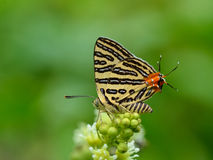Butterfly (Small Long-banded Silverline) , Thailand Stock Photography