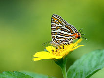 Butterfly (Small Long-banded Silverline) , Thailand Royalty Free Stock Images