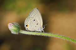 Butterfly (Small Lycaenid) Stock Photography