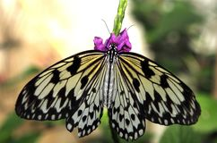 Butterfly on small purple flowers. Feeding royalty free stock photography