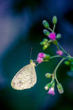 Butterfly. A small butterfly is spotted resting on top a flower in the afternoon Stock Images