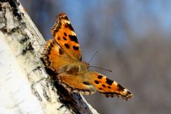 Butterfly the small tortoiseshel Aglais urticae L. Sits on a birch tree Royalty Free Stock Photos