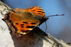 Butterfly the small tortoiseshel Aglais urticae L. Sits on a birch tree Royalty Free Stock Image