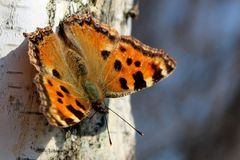Butterfly the small tortoiseshel Aglais urticae L. Sits on a birch tree Royalty Free Stock Photography
