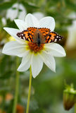 Butterfly small tortoiseshell Stock Photos