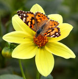 Butterfly small tortoiseshell Royalty Free Stock Image