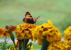 Butterfly small tortoiseshell. Aglais urticae on the blossom tagetes Stock Image