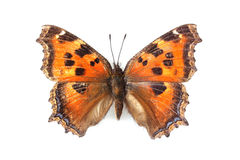 Butterfly - Small Tortoiseshell (Aglais urticae) isolated on white. Background stock photos