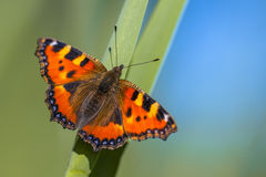 Butterfly Small tortoiseshell Stock Photography