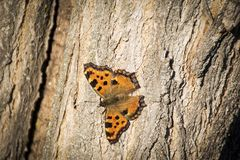 Butterfly - Small Tortoiseshell Aglais urticae on three in nature royalty free stock photos