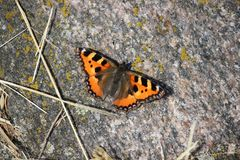 A butterfly, small tortoiseshell, sitting on a warm stone. Royalty Free Stock Photos