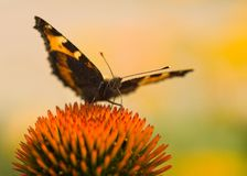 Butterfly (small tortoiseshell) in summer Royalty Free Stock Photography