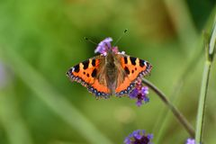 Butterfly, small tortoiseshell Royalty Free Stock Photos