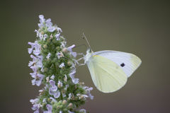 Butterfly - small white butterfly on flower Stock Photos
