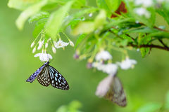 The butterfly smell flowers Royalty Free Stock Photography
