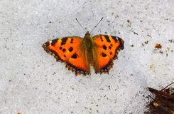 Butterfly on the snow. Wide variety of butterflies can also be found in the early spring and throughout the summer. The first butterflies appear when it is not Royalty Free Stock Image