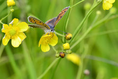 Butterfly. Sooty copper (Lycaena tityrus) feeding on yellow flower Stock Photography