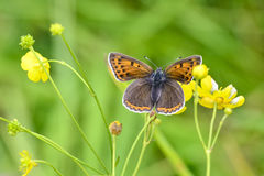 Butterfly. Sooty copper (Lycaena tityrus) feeding on yellow flower Royalty Free Stock Image