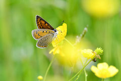 Butterfly. Sooty copper (Lycaena tityrus) feeding on yellow flower Royalty Free Stock Photography