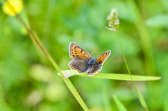 Butterfly. Sooty copper (Lycaena tityrus) feeding on yellow flower Stock Photos
