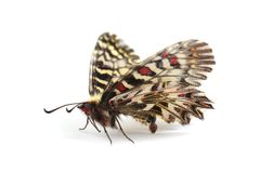Butterfly - Southern festoon Zerynthia polyxena isolated on wh Stock Photos