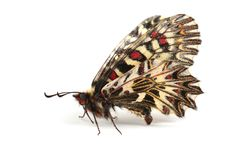 Butterfly - Southern festoon Zerynthia polyxena isolated on wh Stock Photo