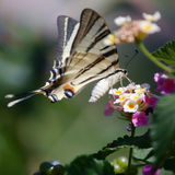Butterfly Southern Swallowtail Royalty Free Stock Images