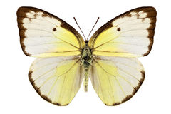 Butterfly species Catopsilia pomona Stock Photo
