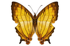 Butterfly species Cyrestis lutea Royalty Free Stock Photos