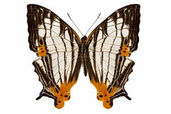 Butterfly species Cyrestis lutea martini Stock Image