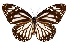 Butterfly species Danaus melanippus Stock Photos