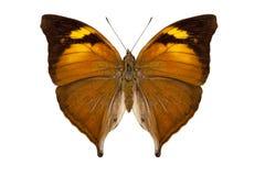 Butterfly species Doleschallia bisaltide pratipa Royalty Free Stock Photography