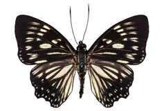 Butterfly species Euripus nyctelius euploeoides Royalty Free Stock Image