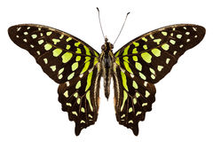 Butterfly species Graphium agamemnon Stock Photo