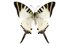 Butterfly species Graphium antiphates Royalty Free Stock Photos