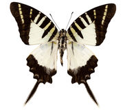 Butterfly species graphium decolor atratus Stock Image
