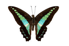 Butterfly species Graphium sarpedon Royalty Free Stock Photos