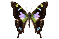 Butterfly species Graphium weiskei stock images