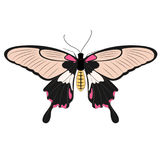 Butterfly. Species great mormon in black and pink wing Royalty Free Illustration