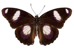 Butterfly species Hypolimnas misippus male Stock Image