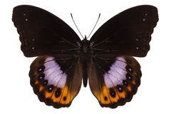 Butterfly species hypolimnas pandarus Royalty Free Stock Images