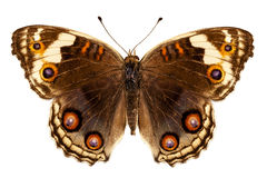Butterfly species Junonia orithya Stock Images