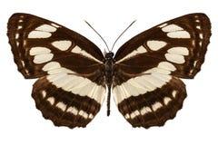 Butterfly species Neptis hylas Stock Photo