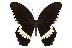 Butterfly species papilio polytes alphenor Stock Photography